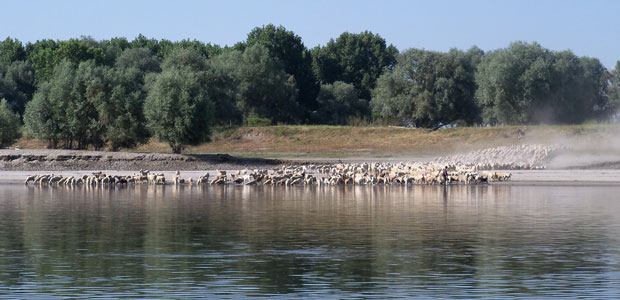 pecore-1-ev