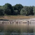 pecore-2-ev