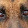 pastore-tedesco-occhi-ev