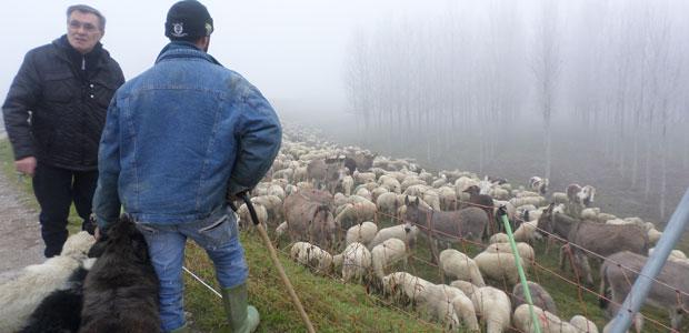 pecore_ev