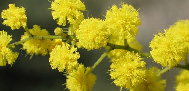 mimosa-ev
