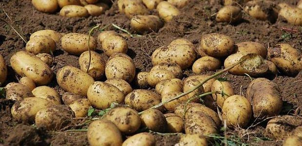 patate-evid