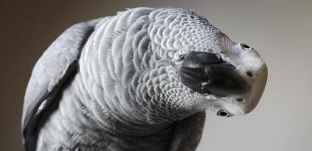 pappagallo-ev