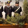 sabbioneta-marijuana_ev